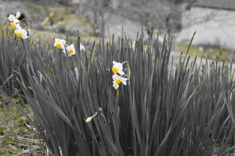 水仙の黄色