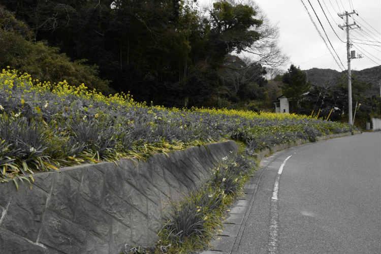菜の花の黄色