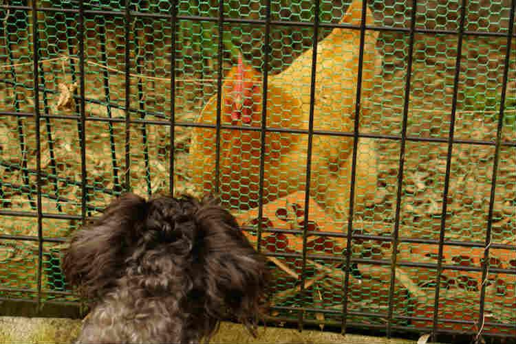 犬とニワトリ
