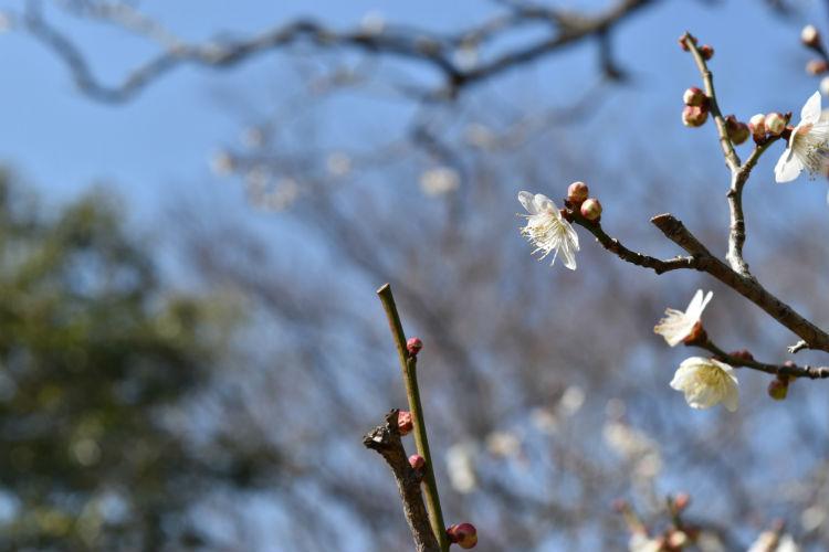 白い梅とつぼみ