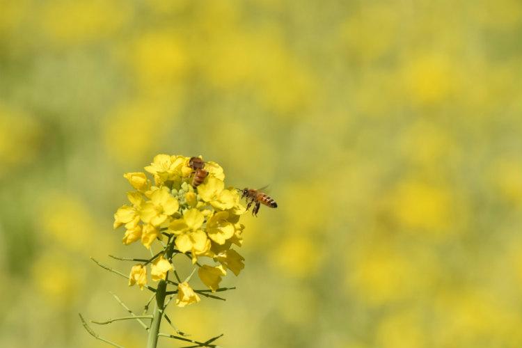 ミツバチが菜の花の蜜を取りに来ていた