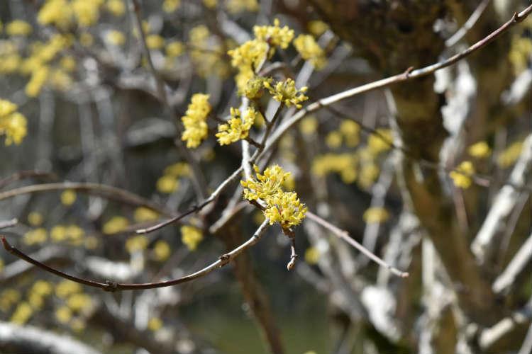 黄色いお花サンシュユ