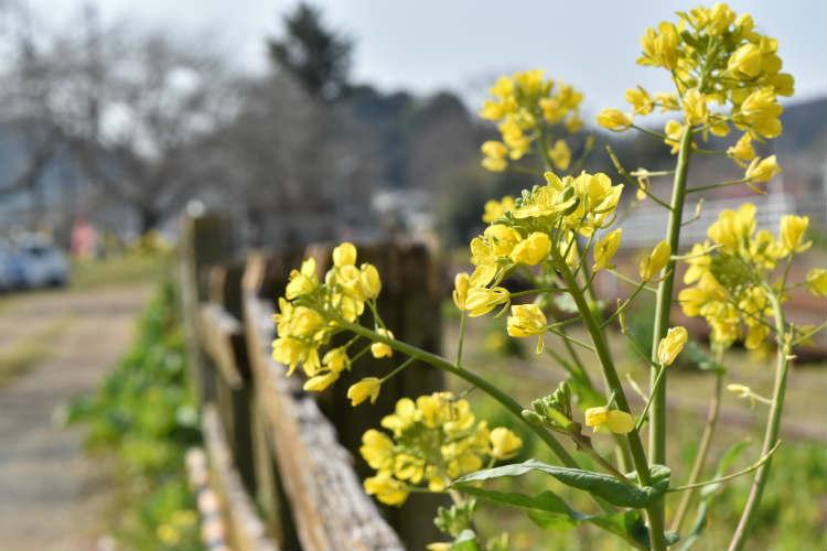 小湊鉄道線路脇の菜の花