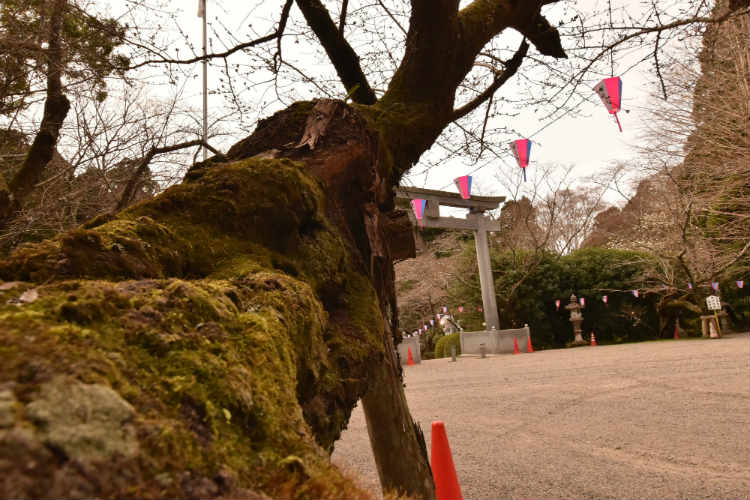 桜の木と鳥居