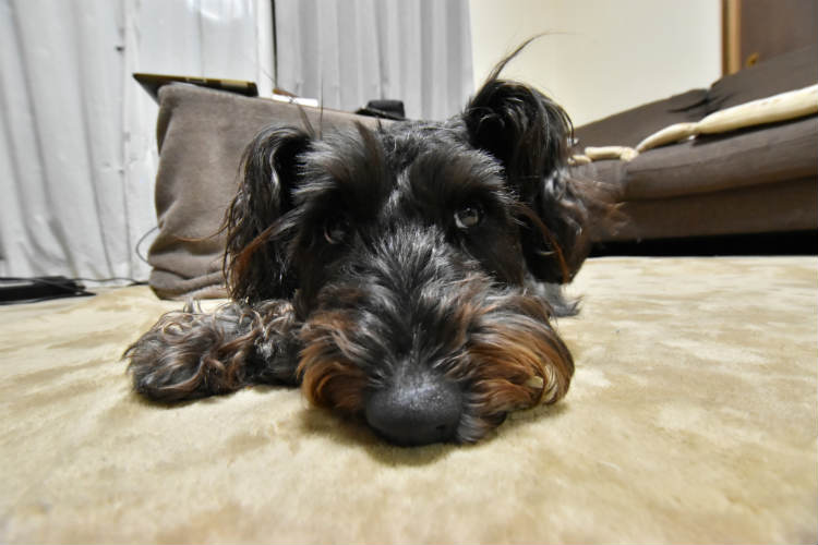 超広角レンズで犬を撮影したら鼻がデカイ