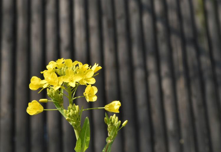 小湊鉄道飯給駅のガラス透明トイレの壁と菜の花