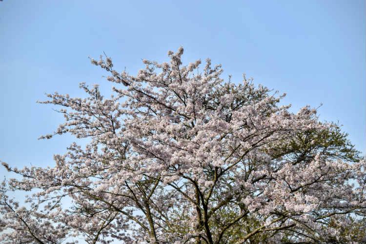 三島湖の青空と散り始めの桜