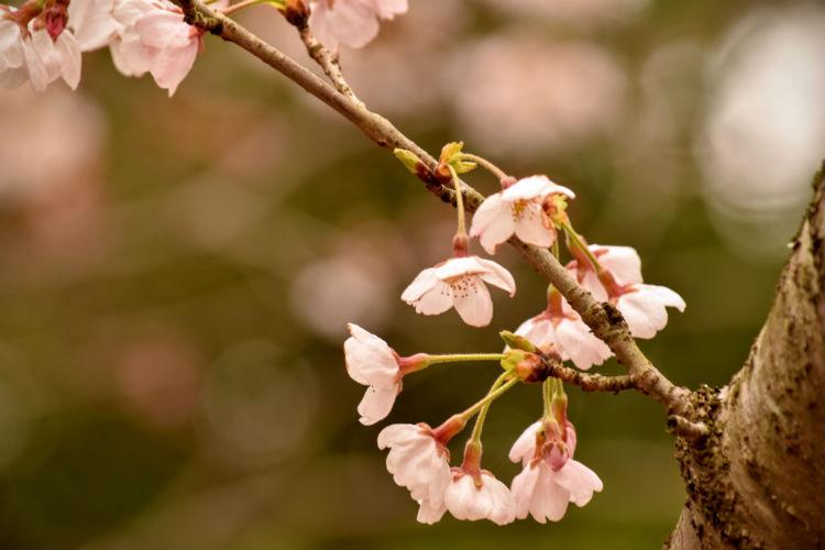 曇空の桜は背景を考えて露出補正をプラスにする