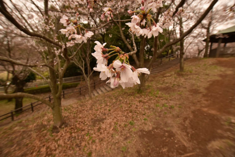 超広角レンズで地面を背景に桜を撮影してみる