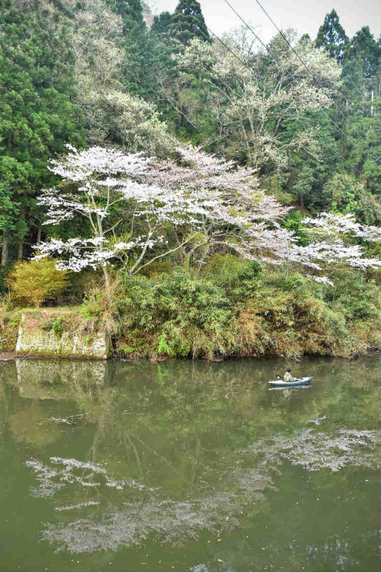 散りはじめの三島ダムの桜とカヤック