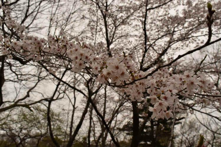 曇り空の桜撮影は暗くどんよりしてしまう