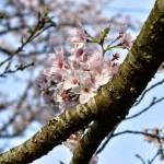 三島ダムの桜の木全体は貧弱でも枝一本一本に小さく咲く花はキレイですね