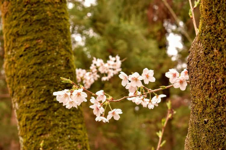 桜の撮影は背景を考えないとうまくいかないね