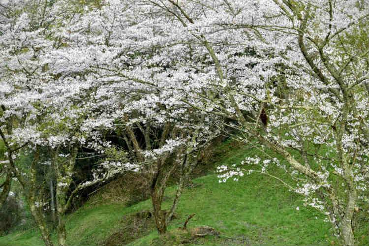 三島ダムサイト裏手の斜面にたつ桜達