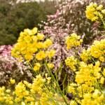 石神の菜の花畑からの帰りに見つけた花