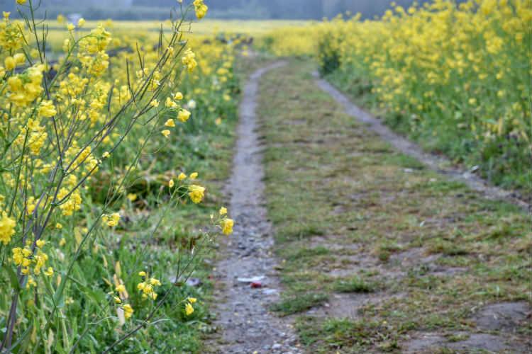 石神の菜の花畑の小道