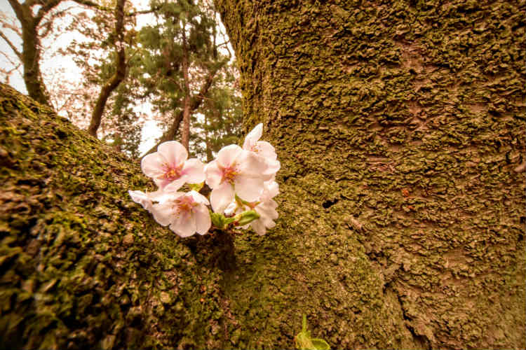 曇りの日の桜はアップで撮影