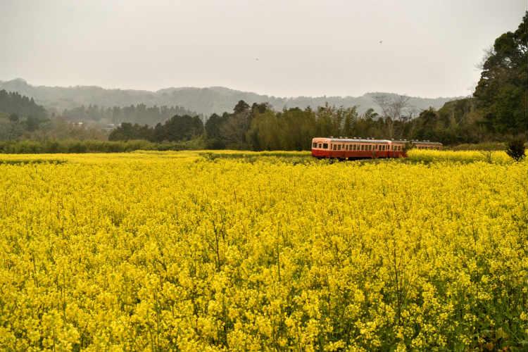 撮影スポット菜の花畑の中の小湊鉄道 (2)