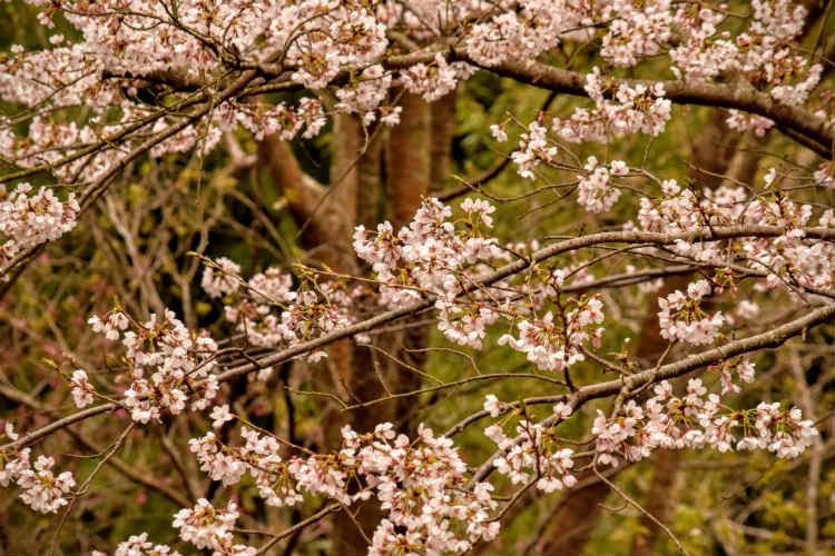 緑の林を背景に桜を撮る