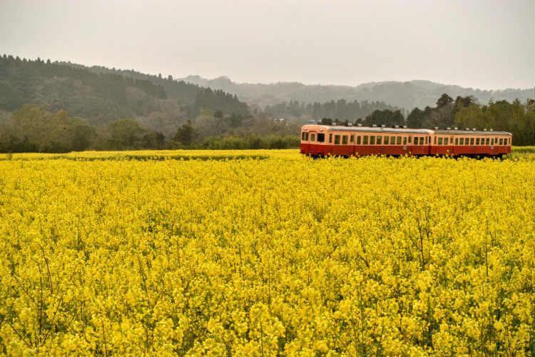 撮影スポット菜の花畑の中を走る小湊鉄道