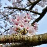 背景をもう少し考えて撮影すれば良かった桜の花