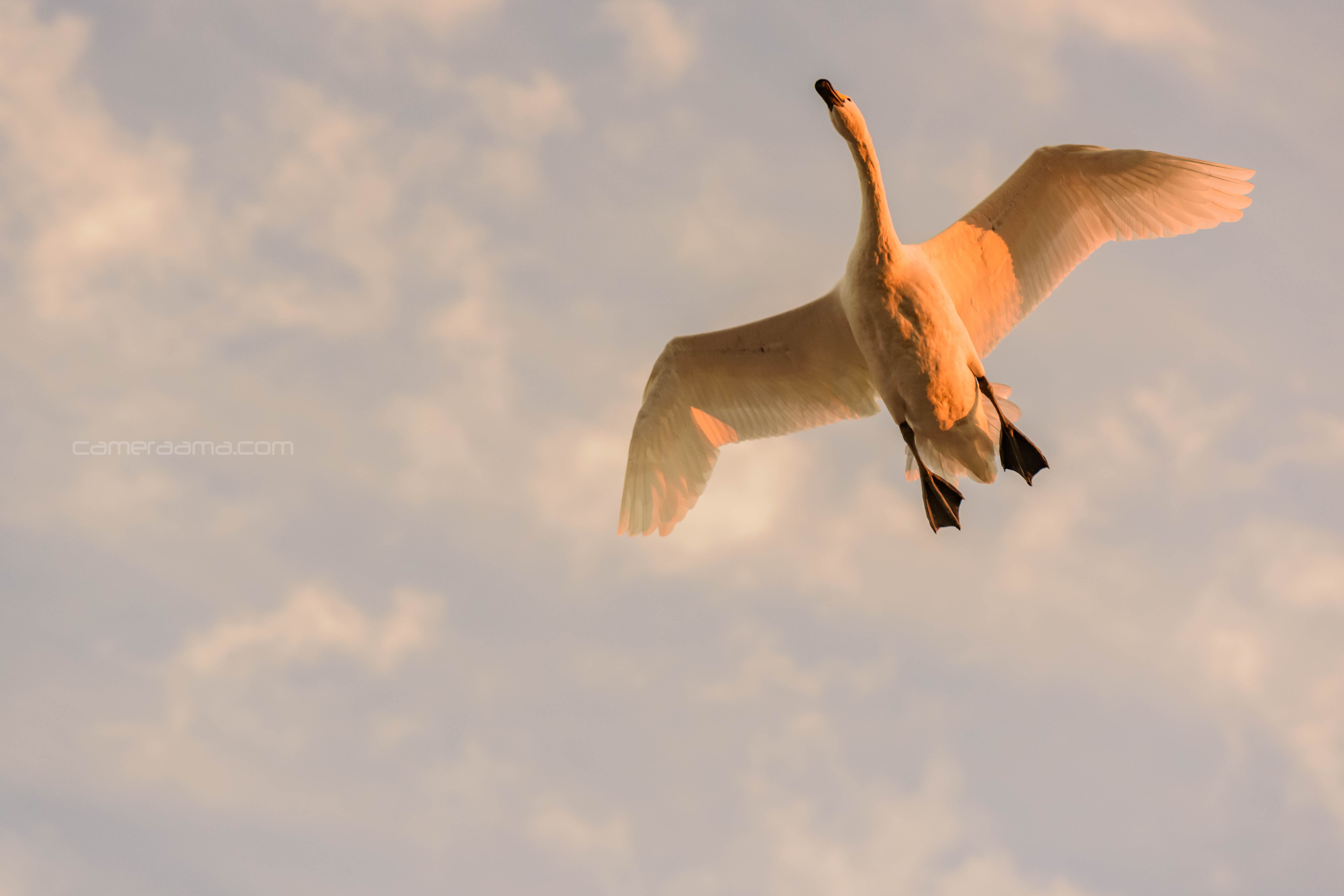 印西市の本埜 白鳥の郷