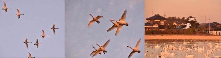 印西の白鳥