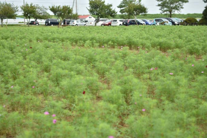 コスモスが咲き始めたあけぼの山農業公園