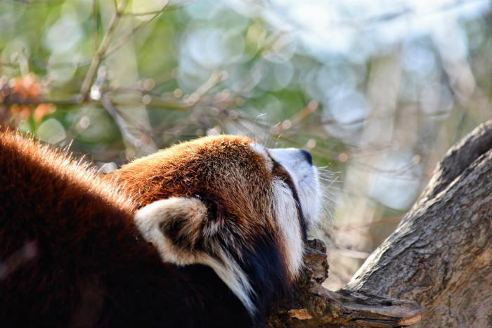 レッサーパンダが寝てる