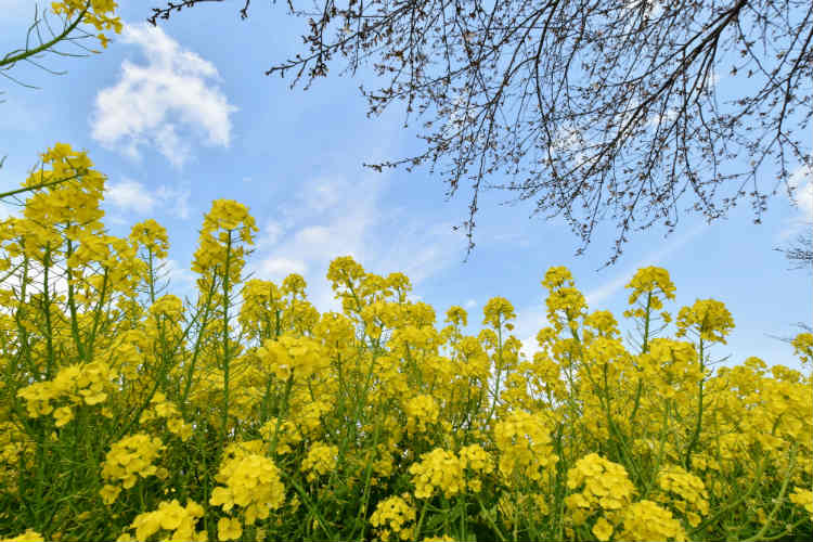 3月は菜の花を沢山撮影した