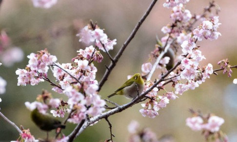 抱湖園のメジロと元朝桜