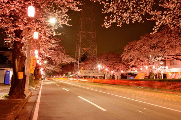 六高台の桜
