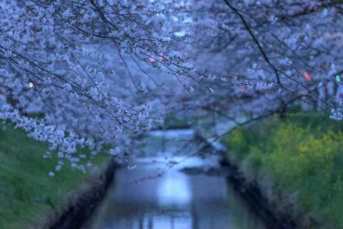 船橋の海老川の桜
