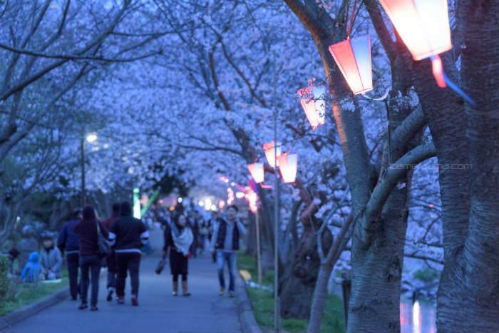 海老川の桜まつり