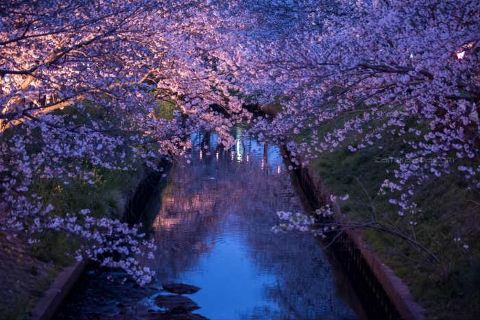 海老川の夜桜