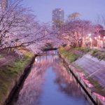 橋の上から海老川と桜