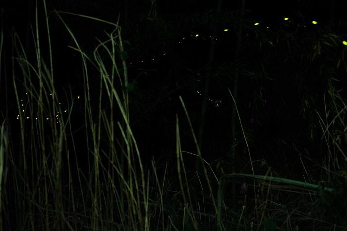 秩父ヒメボタル3夜目の2