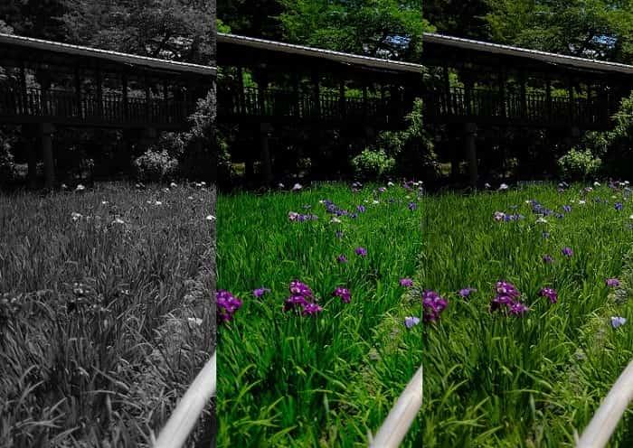 本土寺の菖蒲の歩道で比較