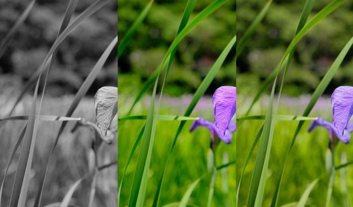 菖蒲の花を比較