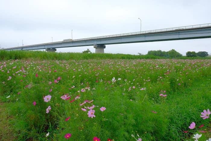 江戸川河川敷のコスモス
