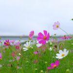 松戸江戸川フラワーロードのコスモス