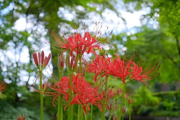 赤い彼岸花が今年も咲いている