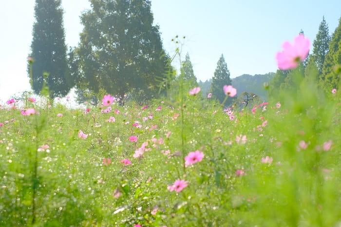 あけぼの山農業公園とコスモス1