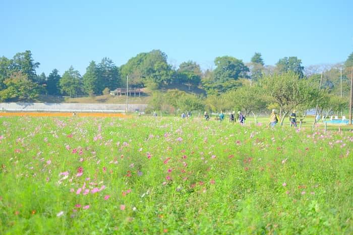 あけぼの山農業公園とコスモスを撮影する人
