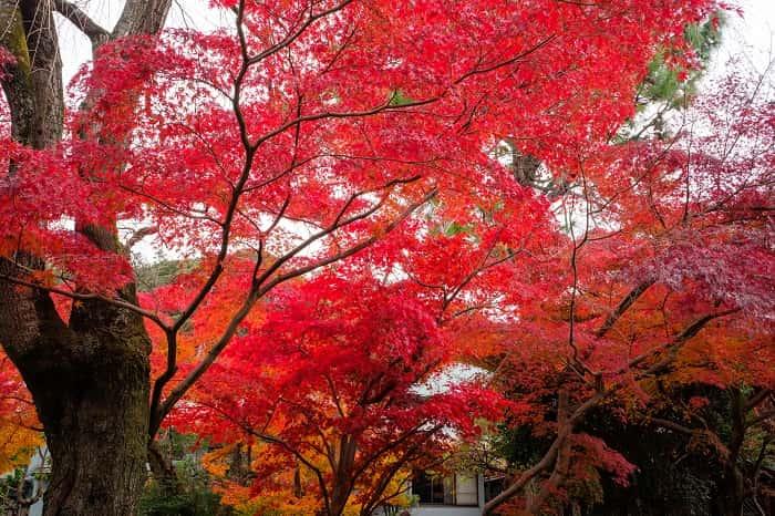 松戸市本土寺の真っ赤な紅葉
