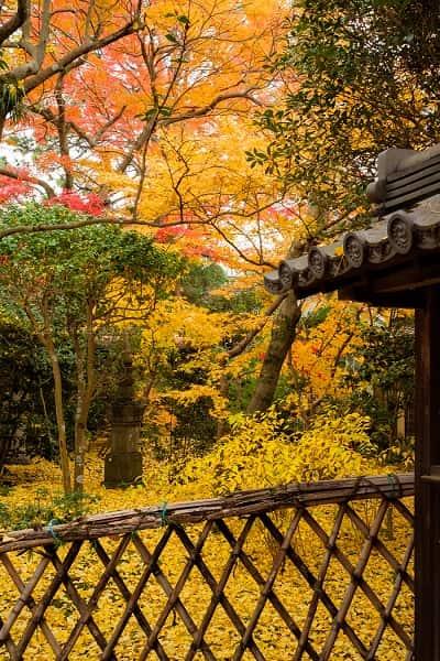 黄色い本土寺の紅葉