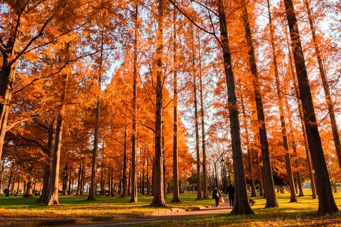 水元公園のメタセコイアの紅葉