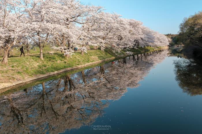 福岡堰の桜と写り込みのリフレクション写真