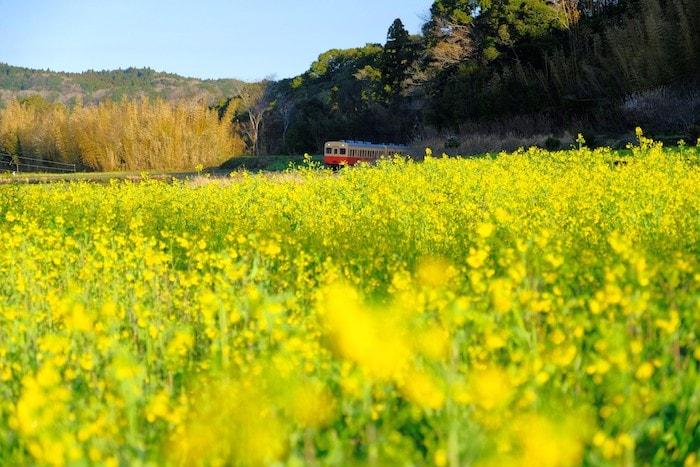 石神の菜の花と小湊鉄道1