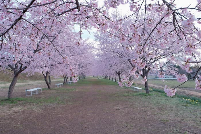寒桜並木の様子